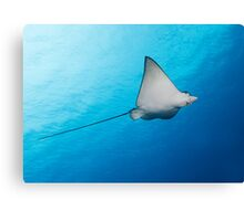 Baby Eagle Ray Canvas Print