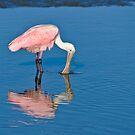 Roseate Spoonbill Dipping Beak by Joe Jennelle