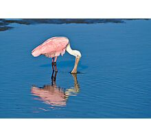 Roseate Spoonbill Dipping Beak Photographic Print