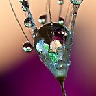Water drops on a dandelion by Jérôme Le Dorze