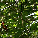 Scarlet Tanager by Anne Smyth