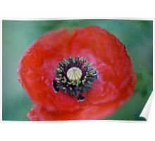 Flanders poppy Poster