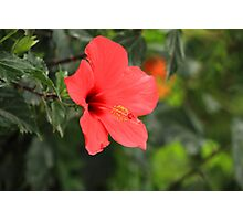 Blooming Red Hibiscus Flower Photographic Print
