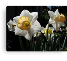 Yellow & white trumpet daffodils Canvas Print