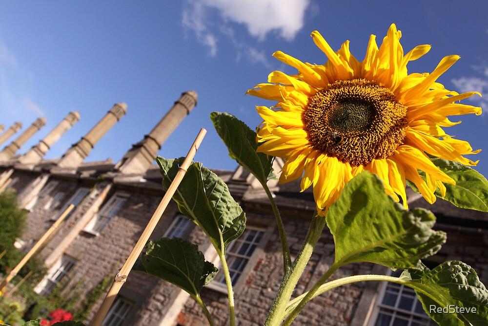 Sunflower - Vicars Close - Wells by RedSteve
