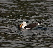 Greater Black-backed Gull out to lunch by Jon Lees