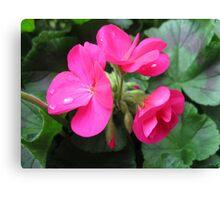 Dreamy Pink Geranium Flowers Canvas Print