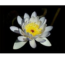 Moon Star Lily Photographic Print