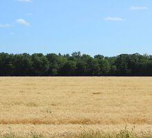 Grain Field on the Prairies by rhamm