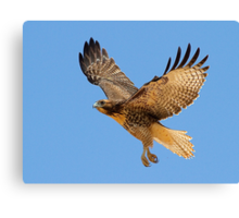 0709111 Red Tailed Hawk Canvas Print