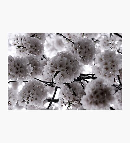 Pale Spring Photographic Print