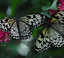 Two Black & White Butterflies by Christian Eccleston