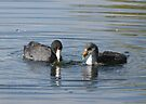 American Coot with Juvenile  by Kimberly Chadwick