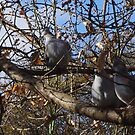 Doves by Gregory John O'Flaherty