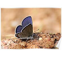 Common Blue - Polyommatus icarus (Male) Poster