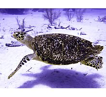 Swimming Hawksbill Turtle Photographic Print
