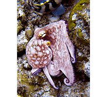 Octopus on the Rocks Photographic Print