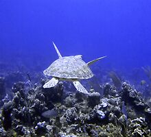 Green Turtle Swimming by SerenaB