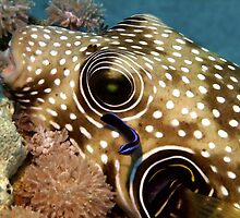 Puffer Fish Being Cleaned by SerenaB