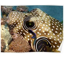 Puffer Fish Being Cleaned Poster