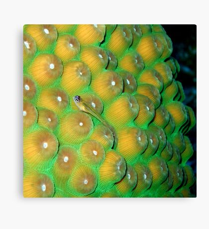 Small Wrasse on Hard Coral Canvas Print