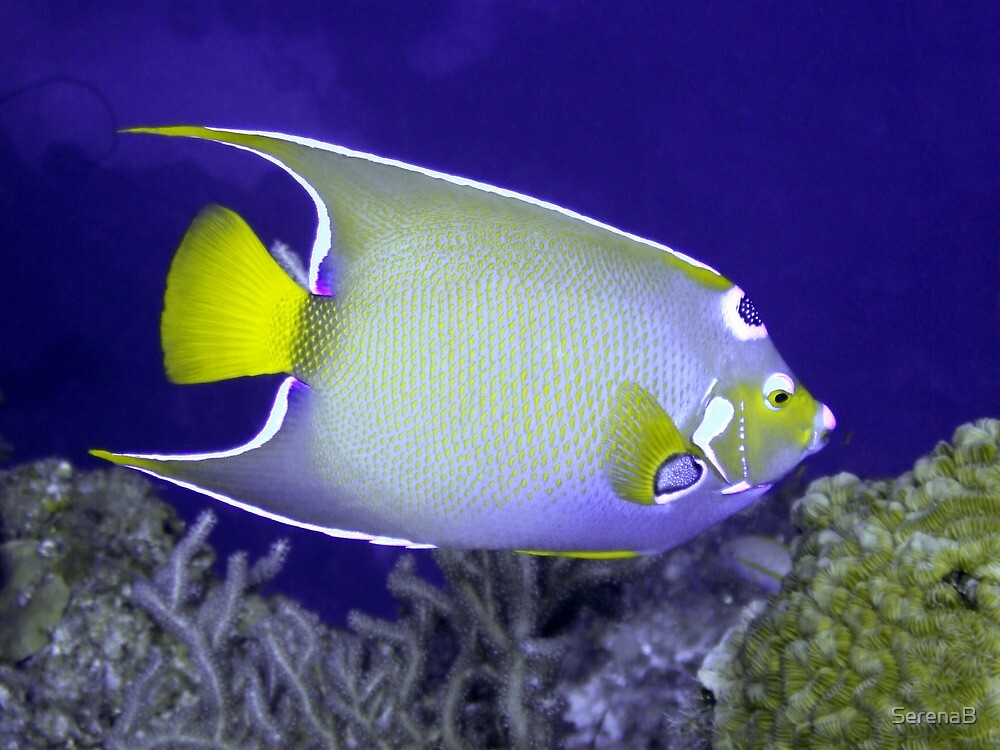 Queen Angelfish From Side by SerenaB