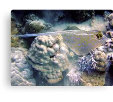 Blue Spotted Ray Feeding Canvas Print