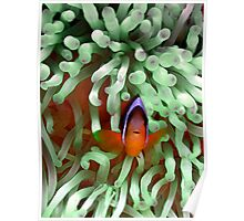 Clownfish in Pale Green Anemone Poster