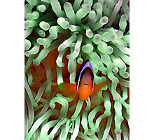 Clownfish in Pale Green Anemone Photographic Print