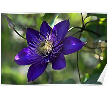 Clematis - Multi Blue Poster