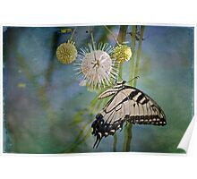 Eastern Tiger Swallowtail on Button Ball Bush Poster