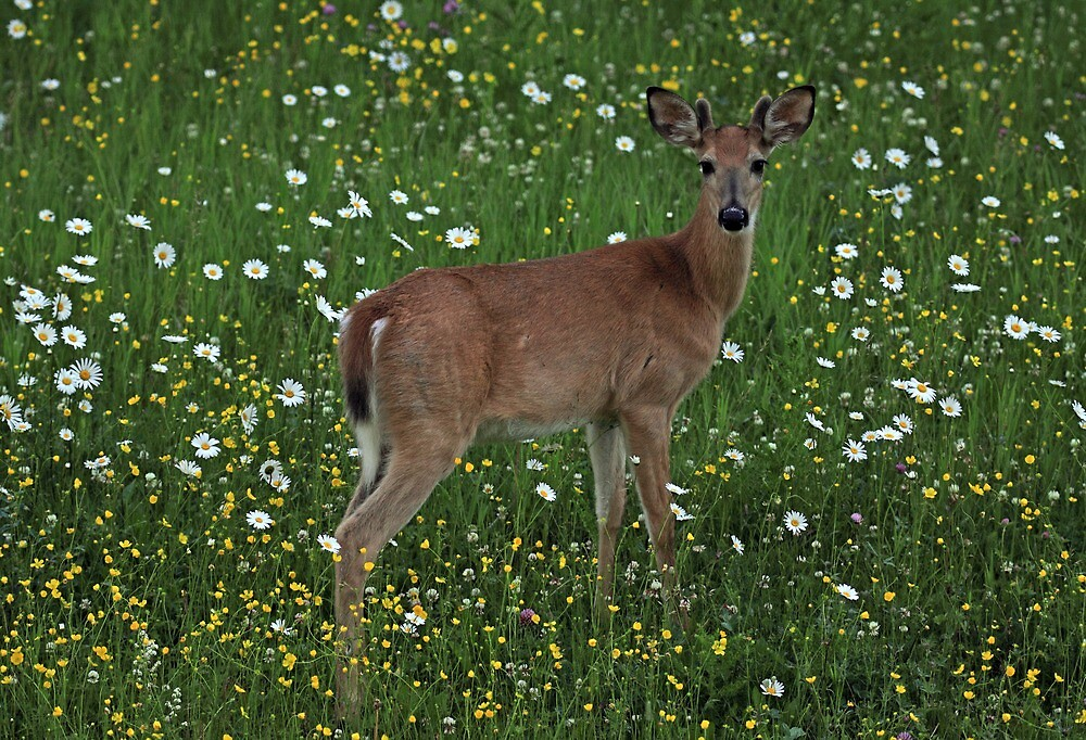 Bambi by Michael Collier