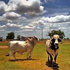 Brahman  Bulls by Savannah Gibbs