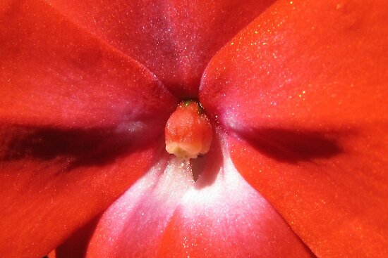 Inside an Impatiens  by hummingbirds