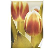 Lady tulip Poster
