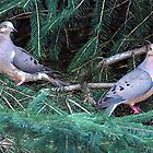 Mourning Doves by vette