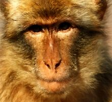 A Rock Ape (Barbary Macaque)  on The Rock of Gibraltar by Dennis Melling