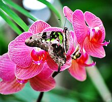 Pink Orchids & Butterfly by exoticflowing