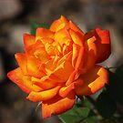 Orange Beauty by shadyuk