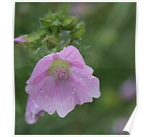 Rose Mallow, Hibiscus moscheutos, Gainford, England Poster