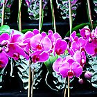 Pink Blooming  Orchids by exoticflowing