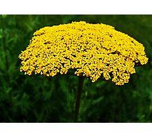 Yellow Yarrow Photographic Print