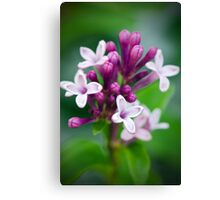 Lilacs in Bloom Canvas Print