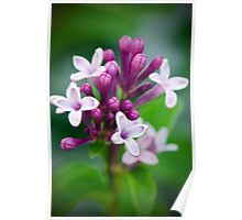Lilacs in Bloom Poster