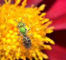 Sweat Bee on a Dahlia by Kate Farkas