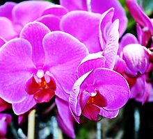 Cotton Candy Pink  Orchids by exoticflowing