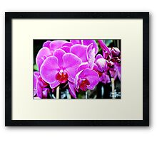 Cotton Candy Pink  Orchids Framed Print