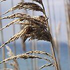 Reeds by Ken Hill