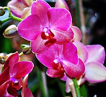 Blooming Pink Orchids by exoticflowing