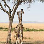 Maasai Giraffes. Males Necking. Maasai Mara, Kenya  by Carole-Anne